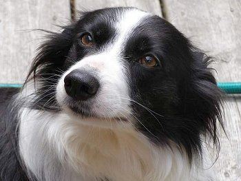 16 Reasons Border Collies Are Not The Friendly Dogs Everyone Says They Are With Images Collie Border Collie Dog Breeds Pictures