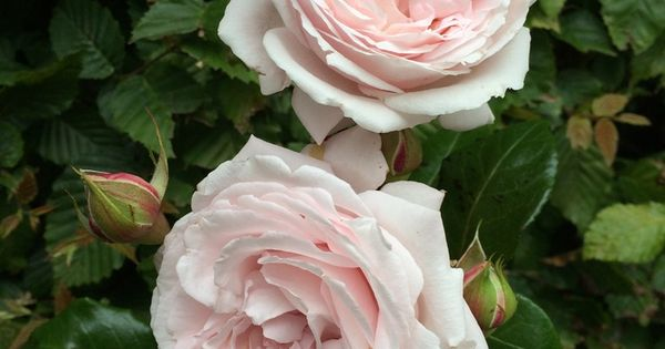 39 constanze mozart first crush floribunda rose bred by. Black Bedroom Furniture Sets. Home Design Ideas