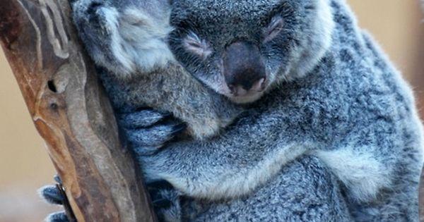 Koala Bears photo KoalaBear