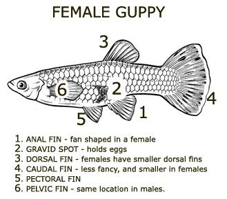 Breeding Reproduction And Care For Fry Guppy Aquarium Fish Guppy Fish