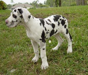Great Dane Patient And Friendly Dog Breed Info Great Dane