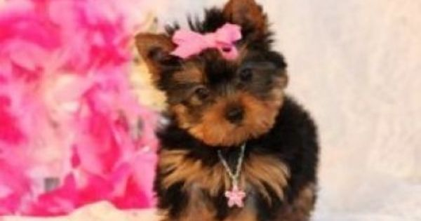 Free Teacup Pug Puppies Teacup Yorkie Puppies For Sale Yorkie