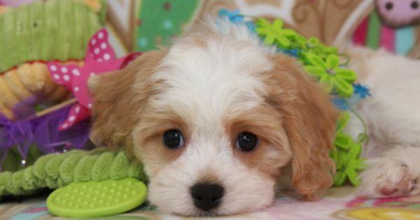 Foxglove Designer Puppies Cavachon Puppies Cavachon Dog Cavachon