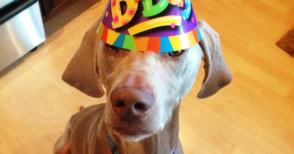 Happy Birthday Weimaraner Garmin Weimaraners