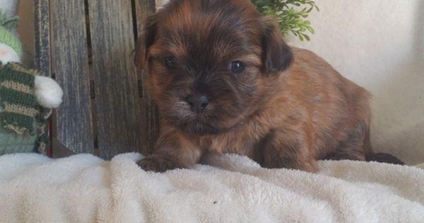 Cavachon Puppy For Sale In East Earl Pa Adn 21339 On Puppyfinder