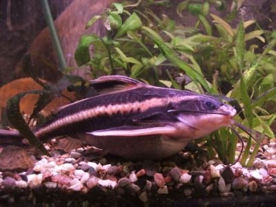 Howstuffworks Striped Raphael Catfish Freshwater Catfish Aquarium Catfish Aquarium Fish
