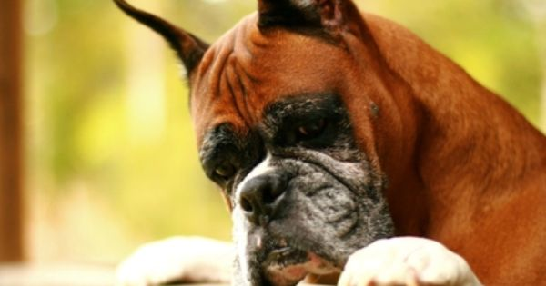 Boxer Dog 1920x1080 Wallpaper High Quality Wallpapers High Definition Wallpapers Boxer Dog Pictures Boxer Dogs Boxer Dog