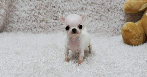 Chihuahua Puppies   Tiny Teacup Chihuahua Puppies Available for Sale ...