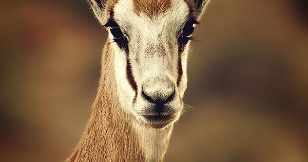 Springbok, Antidorcas marsupialis, is a small sized ...