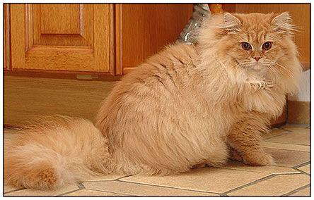 British Longhair Cat Red Mackerel Orange Cats Cats Long Hair Styles