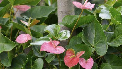 Anturio Consejos Para Su Cuidado Flores Plantas Rojas Y