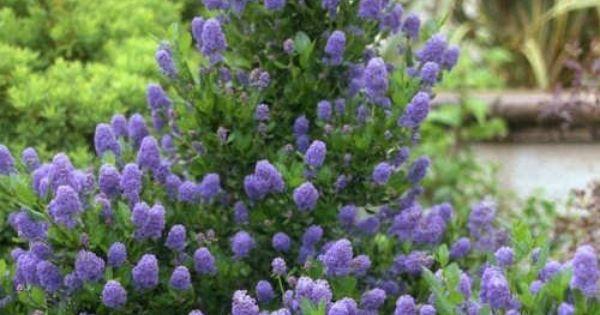 Achat ceanothus c anothe skylark jeune plante en godet for Arbuste persistant a fleurs bleues