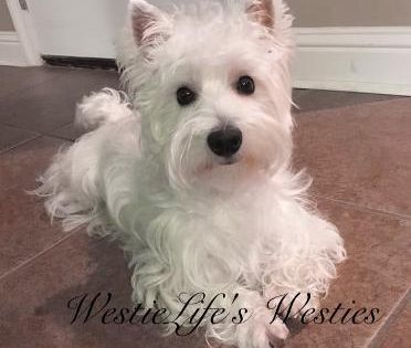Husky S Westie S And Other Pups Kittens Image By Debbie