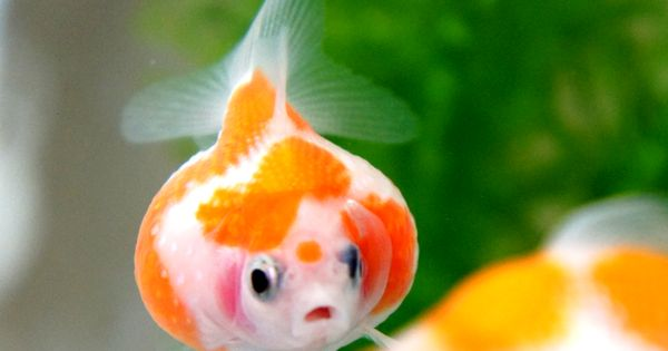 Kingyo pin pon pearl goldfish pinterest perle for Pesce rosso butterfly