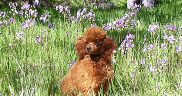 California Akc Poodle Puppies Toy Red Poodles For Sale