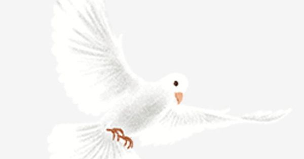 White Dove Illustration White Pigeon Illustration Png Transparent Clipart Image And Psd File For Free Download Dove Images White Doves Illustration