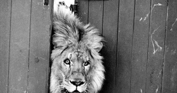 Lion, Animals, Black and White Photography, Funny, Quotes