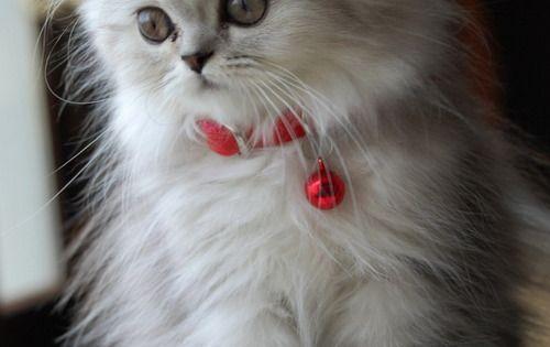 Miss Persian cat.