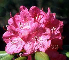 R Catawbiense Rhododendron Hardy To 25 Degrees Most