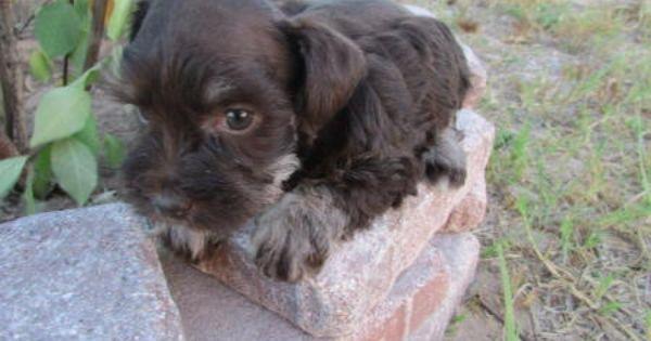 Tam S Toy Schnauzer R Us Schnauzer Babies For Sale In Texas Toy Schnauzers For Sale In Dallas Tx Toy Schnauzer Schnauzer Puppy Mini Schnauzer Puppies