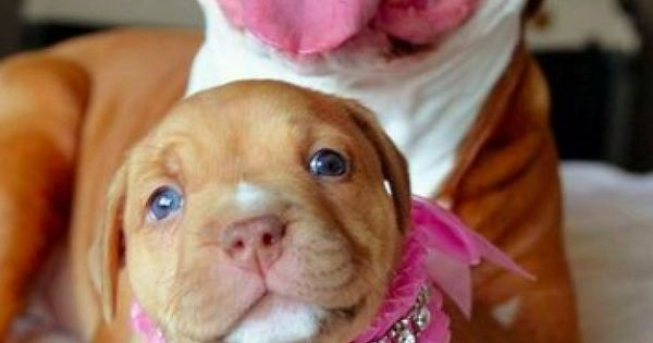 Pitbulls are the cutest puppies EVER