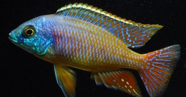 African Cichlids Freshwater Fish With Color Yelp Cichlids African Cichlids Beautiful Fish