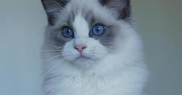 Bellaluna Ragdoll Cattery Maryland Ragdoll Cats And Kittens Ragdoll Cat Cats And Kittens Ragdoll Cattery