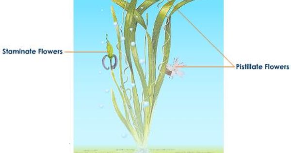 Water Pollination In Vallisneria Pollination Plants Planting Flowers