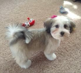 Probably The Shortest I D Want To Go With Ruby Havanese Grooming Havanese Haircuts Havanese Dogs
