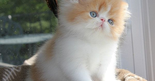 Alfenloch Himalayan and Persian kittens,