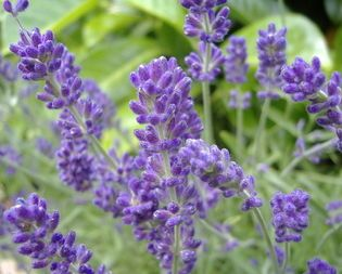 Lavender Tea Recipe How To Make Lavender Tea You May Use Either Fresh Or Dried Lavender Flowe Lavender Plant Growing Lavender Indoors Lavender Plant Care