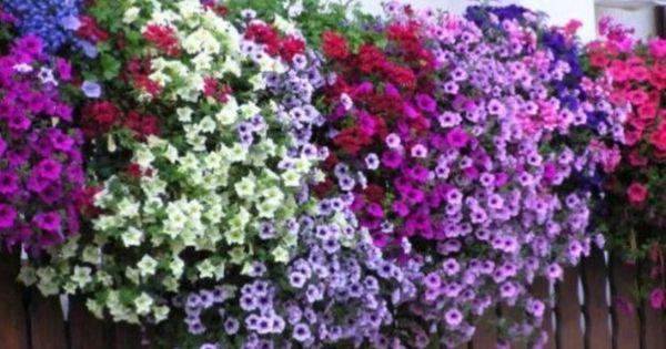 Piante e fiori da balcone perenni o resistenti quali sono for Piante che amano il sole