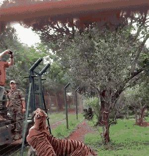 Irena Hola Dehnova Google Majestic Animals Tiger Images
