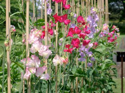 36++ Pois de senteur dans un jardin inspirations
