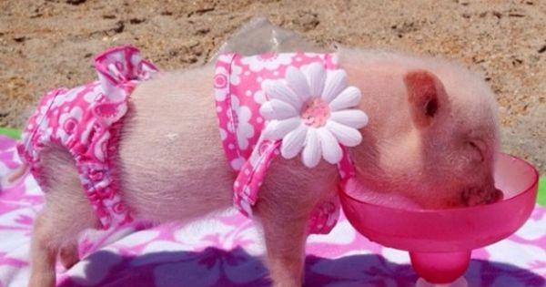 Little Piggy In Bikini Too Cute Pigs Pinterest Pets