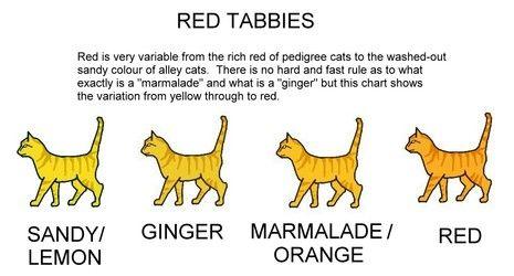 Cat Colour Genetics Orange Tabby Pedigree Cats Cat Colors
