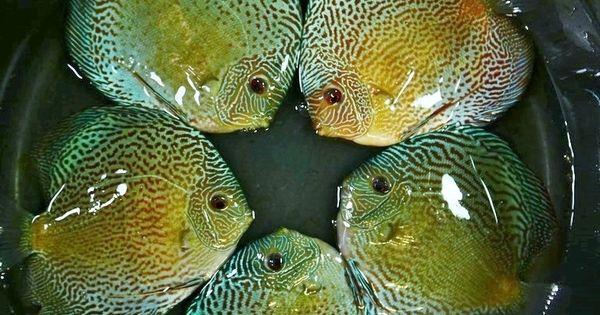 Preview Mega 57 Strains Nov 2015 Forrest Shipment Price List Included Page 2 Fish Aquarium Decorations Discus Fish Oscar Fish