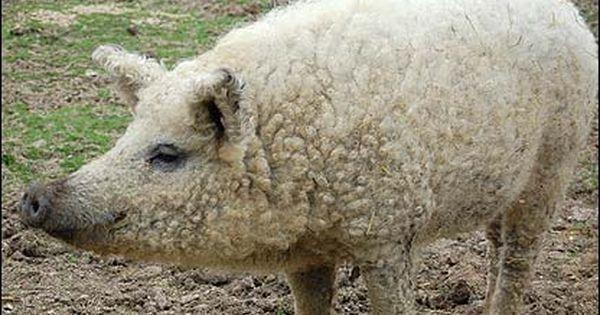 Wooly Pigs: Wooly Pigs Selling Swallow-Belly Mangalitsa Genetics