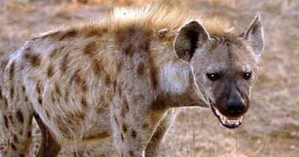 تفسير حلم الضبع في المنام Hyena Animals Kangaroo