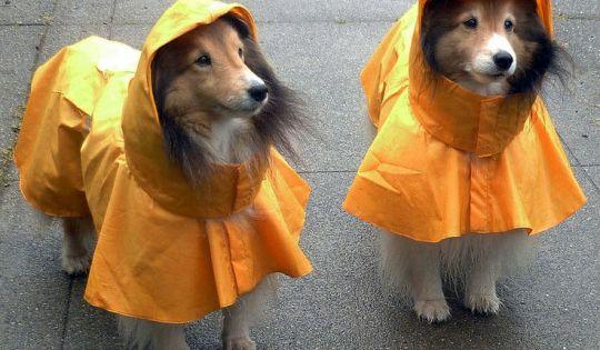 Animalsinraingear Sheltie Shetland Sheepdog Sheltie Dogs