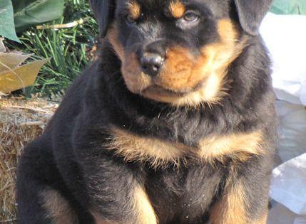 Wildwood Rottweilers Puppies