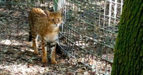 Diablo The Savannah Cat At Big Cat Rescue Hybrid Cat Big Cats