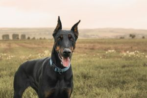 Doberman Pinscher Dogs 101 Doberman Pinscher Dog Aggressive Dog