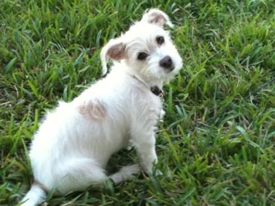 This Is A Maltejack Or Jacktese Its A Maltese Jack Russell Mix Totally Adorable Will Be About 10 To 12 Lbs Jack Russell Terrier Mix Pitbull Terrier