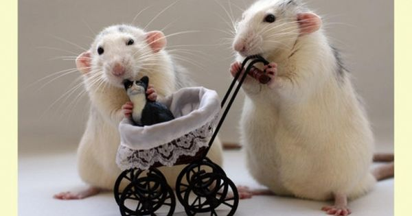 Rat and ..baby cat
