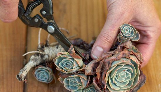 It's Easy to Propagate Succulents! - Take Cuttings of established succulents growing