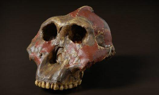 Paranthropus boisei Pa...