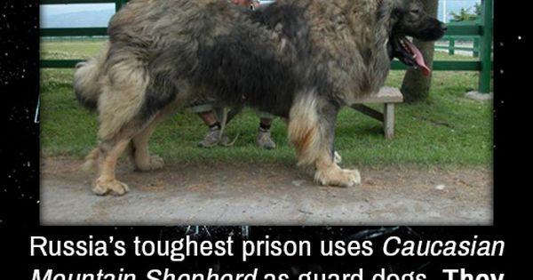 Russia's toughest prison uses Caucasian Mountain Shepherd ...
