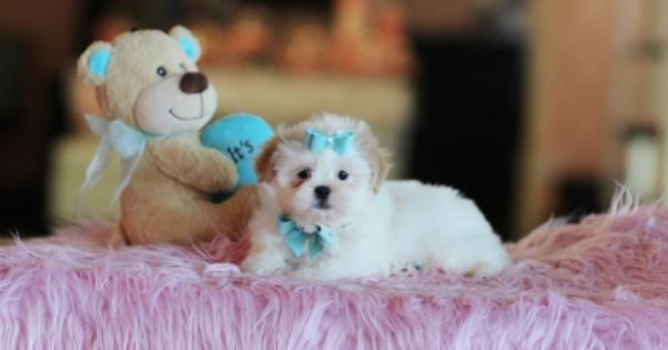 Teacup Shih Tzu Puppies Puppies For Sale Morkie Puppies For Sale