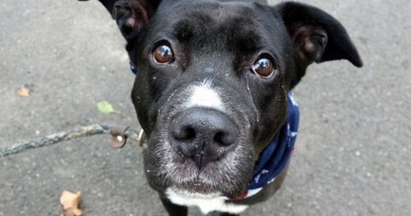 Rocky Road A1085342 Manhattan Please Share To Be Destroyed 08 19 16 New Hope Rescue Only A Volunteer Writes Dog Adoption Animal Faces Dog Names
